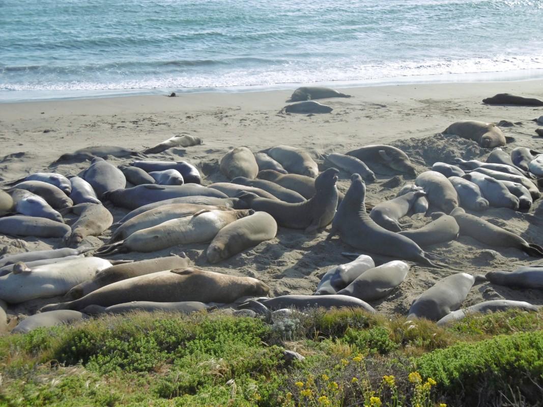 Elephant Seal Rookery Cambria Big Sur California