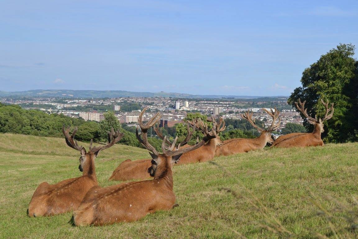 Deer at Ashton Court in Bristol