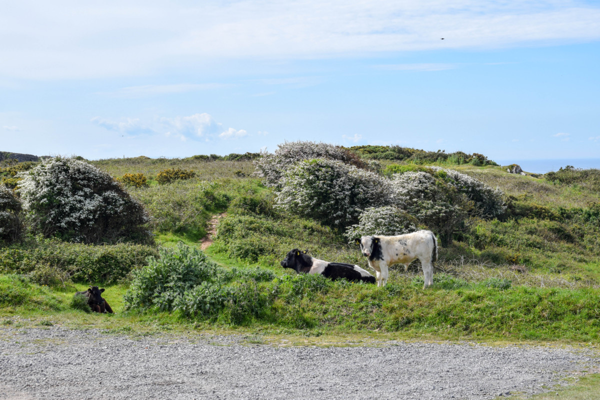 Cows at Pennard Cliffs Gower Wales