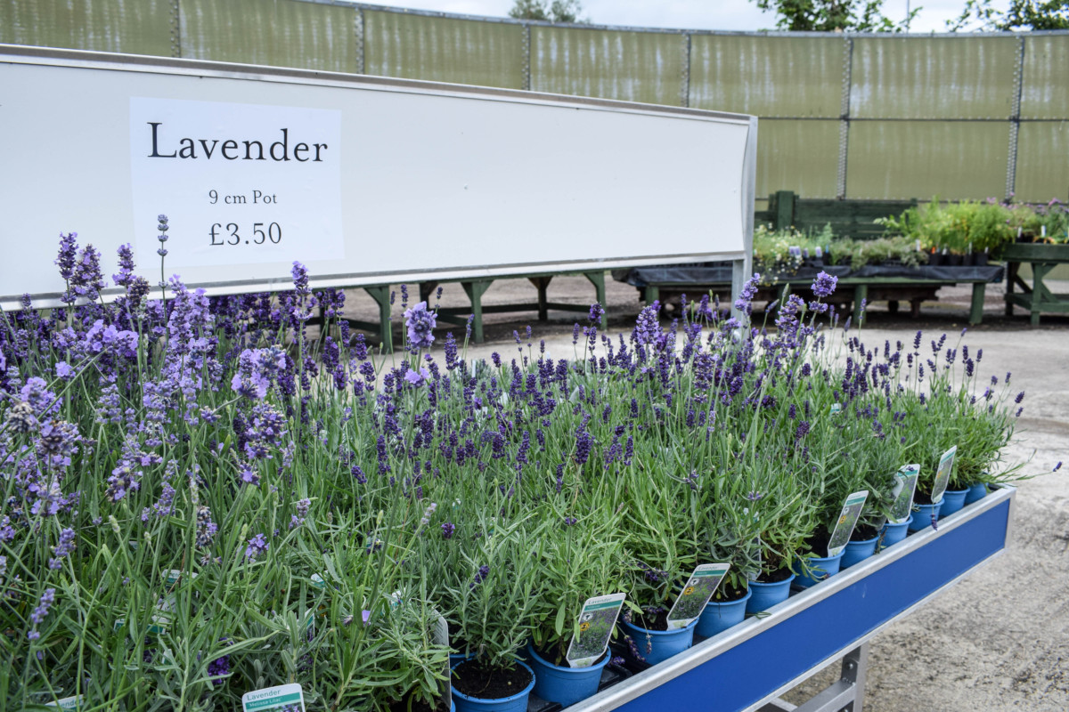 Somerset Lavender Farm Nursery