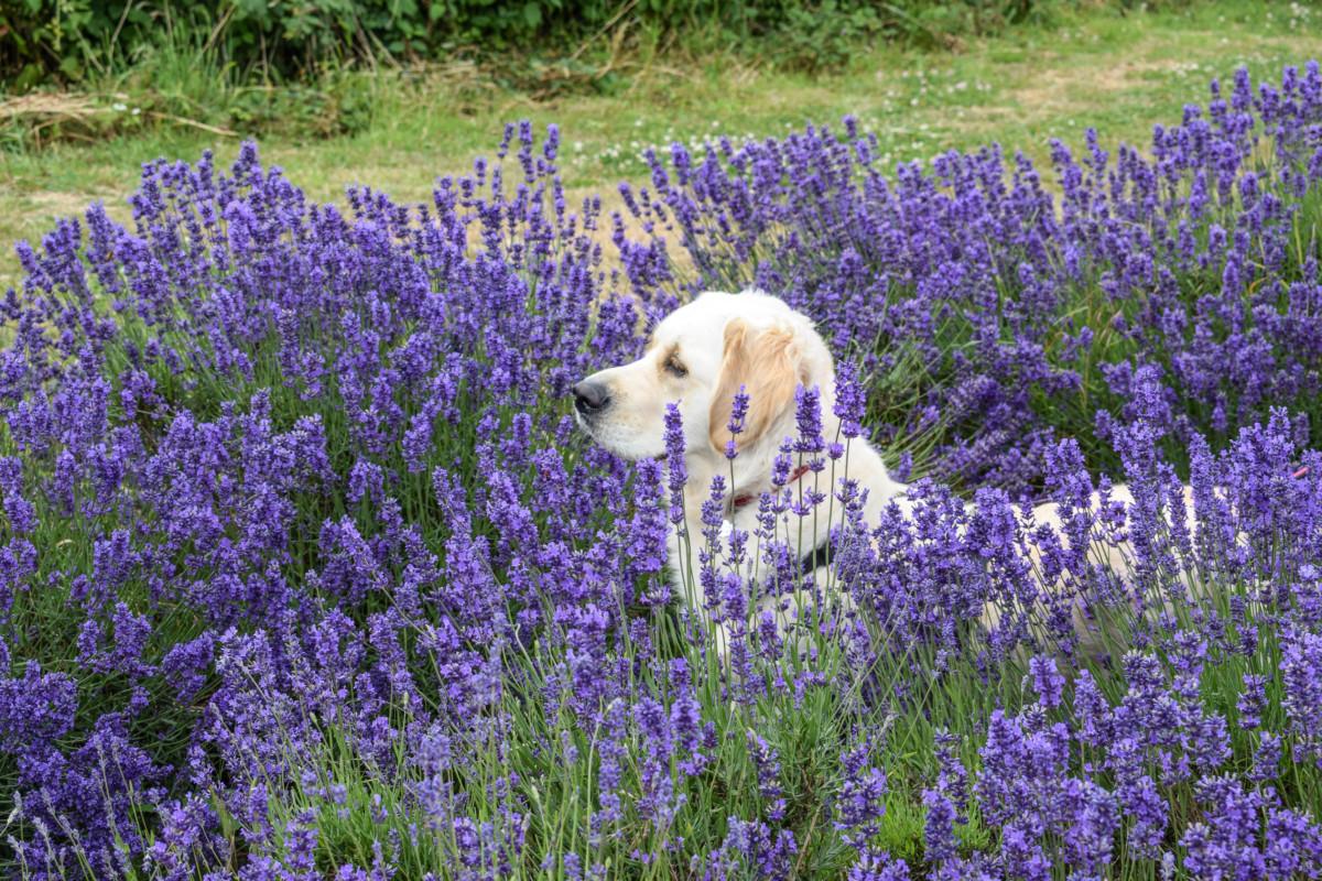 A visit to Somerset Lavender Farm