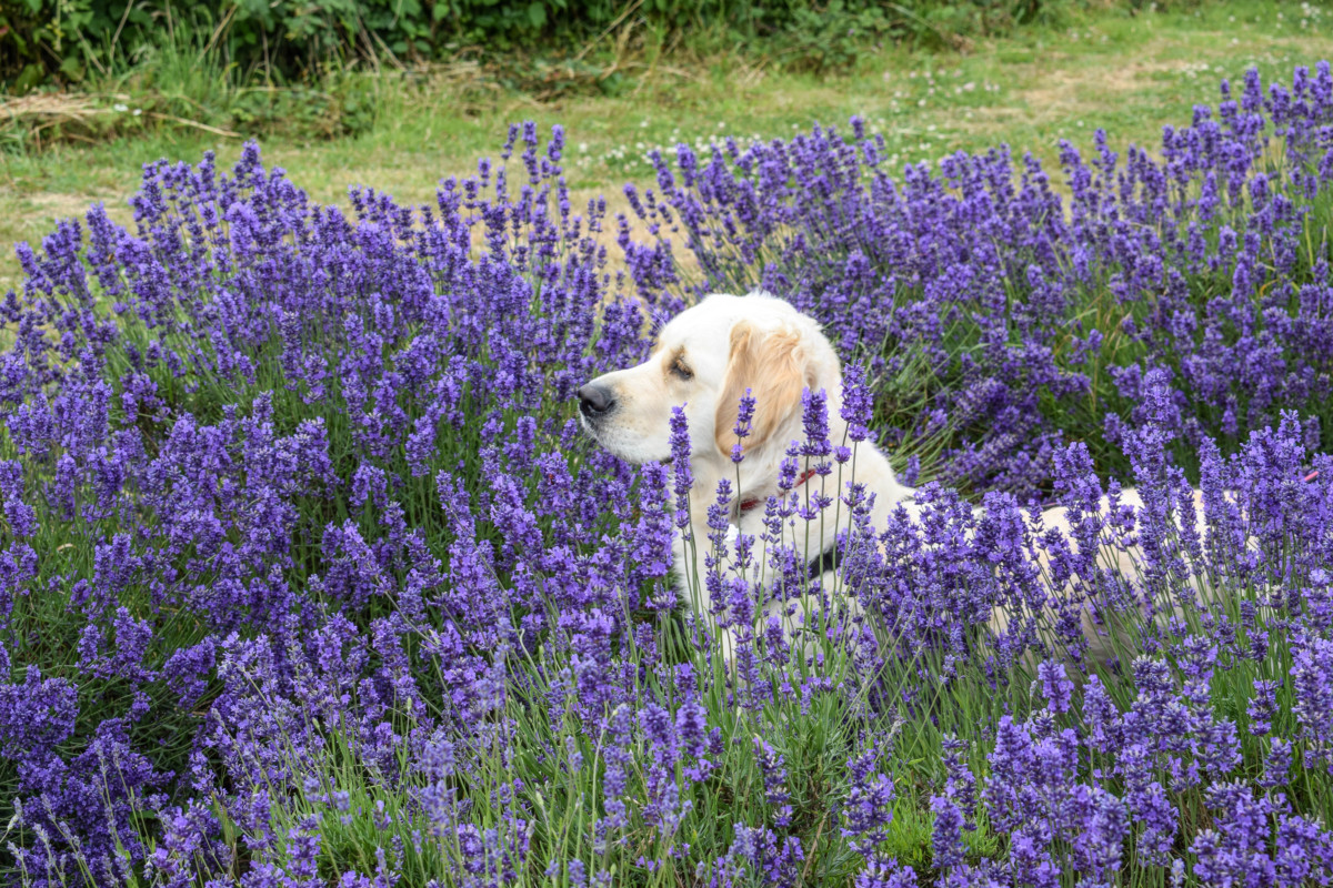Somerset Lavender Farm dog friendly