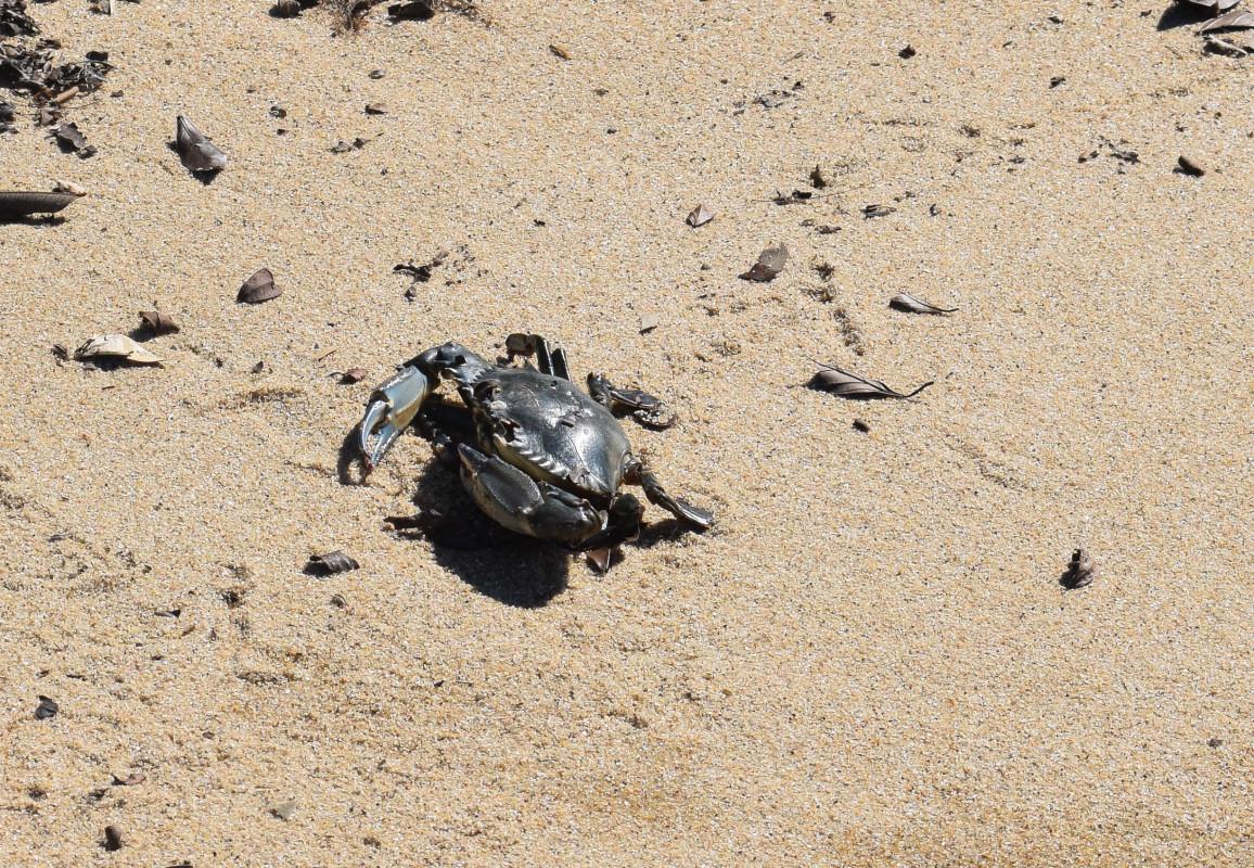 Crab Paraty Brazil beach