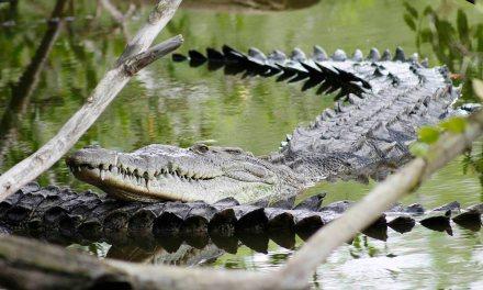 Las redes sociales magnifican la presencia de cocodrilos en las playas