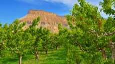 A verdant peach orchard in the Palisade Irrigation District, one of the primary West Slope users of Colorado River water. Image courtesy Aloha Organic Fruit.