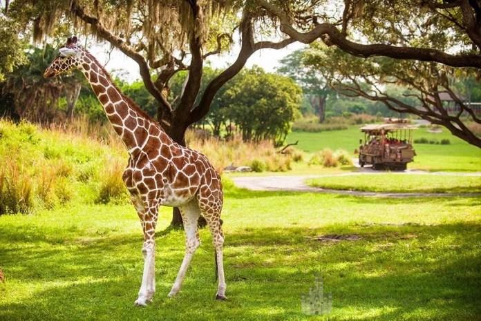 Safari Animal Kingdom - Kilimanjaro