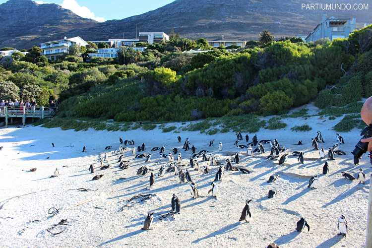 rsz_visiting_the_penguins_at_boulders_beach_10