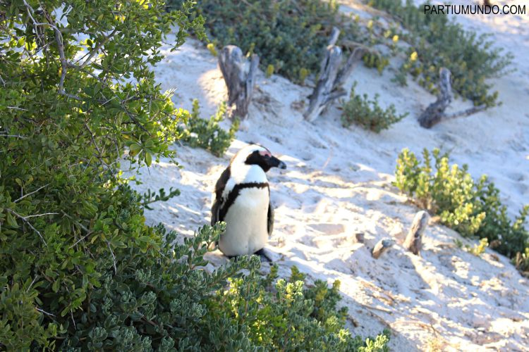 rsz_visiting_the_penguins_at_boulders_beach_18