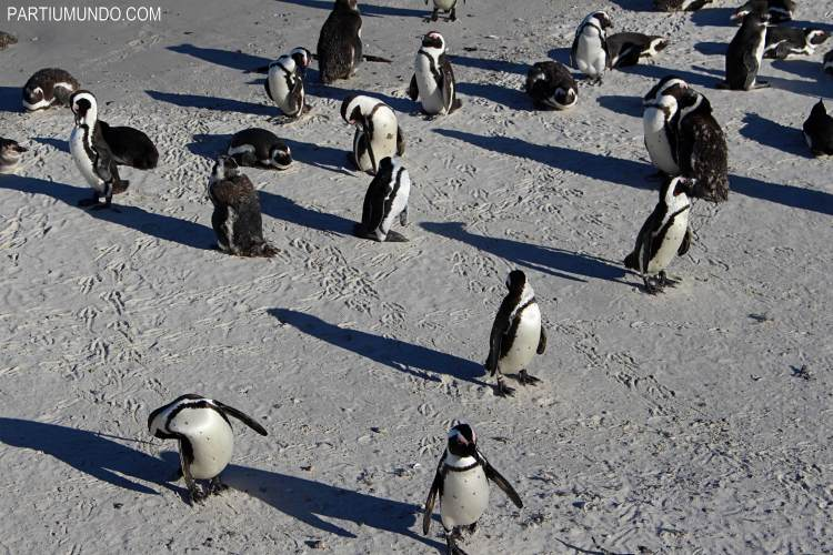 rsz_visiting_the_penguins_at_boulders_beach_9