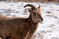 Female Bighorn