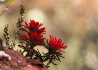 Paintbrushes in bloom