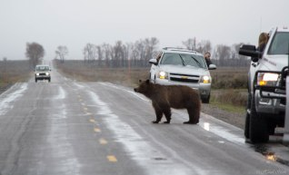 Grizzly bear on the road, trying to lead her cubs safely