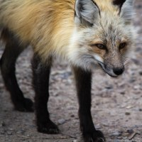 Red Fox or Gray Fox?