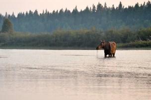 Momma Moose (2)