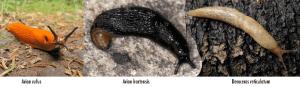 Trois types de limaces de nos potagers