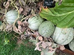 Mes beaux melons. Qui veut mes beaux melons ?