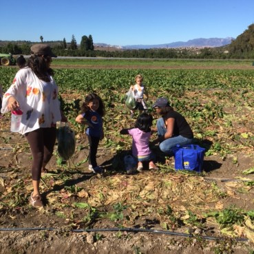 picking candy cane beets.