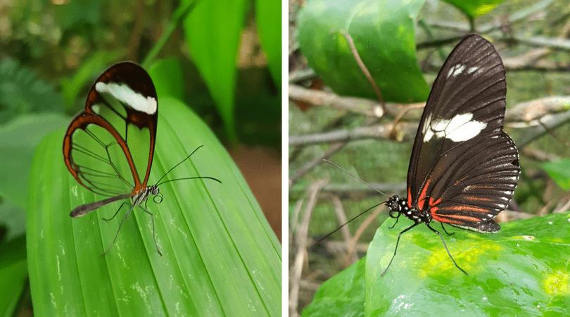 La mariposa de alas de cristal y una cocinera