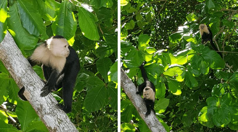 Los monos Capuchinos en la playa