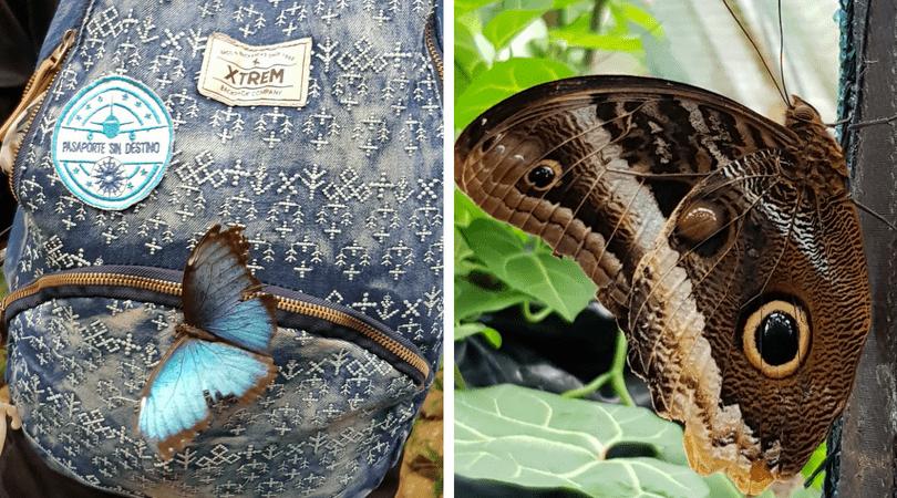 La increíble mariposa Morpho y la gigantezca Buho