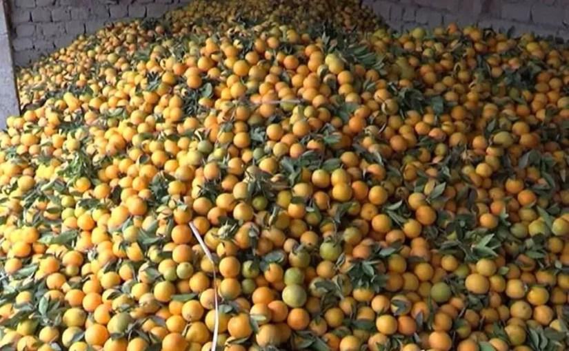 Increase in Maltese yields in Nangarhar