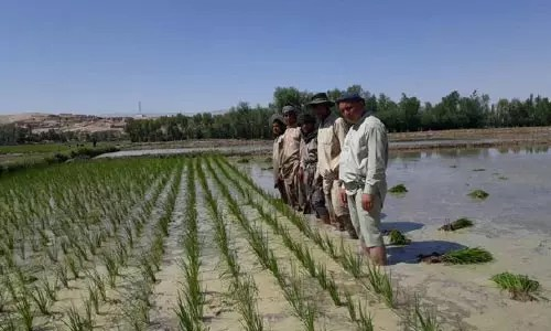 Increasing rice production in the current country in the country
