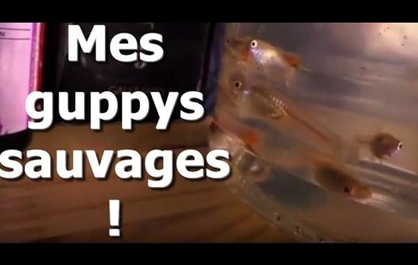 guppy sauvage