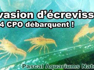 CPO dans un de mes aquariums naturels