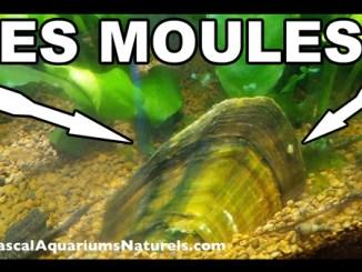Les Moules d'eau douce en aquariums naturels !