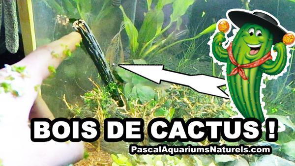 bois de cactus en aquarium naturel !