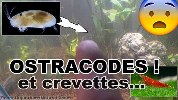 ostracode versus crevettes en aquariums naturels !