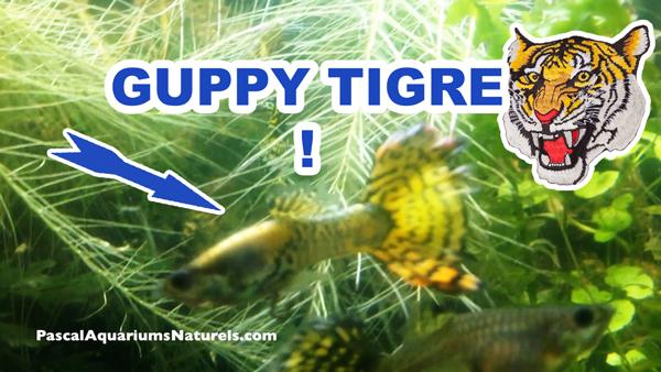 guppy tigre !