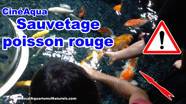 sauvetage poisson rouge