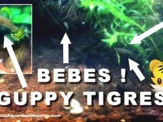 mes alevins guppy tigre