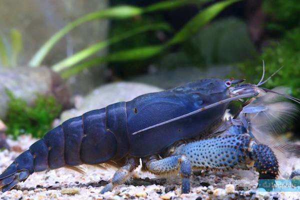 CREVETTE BALAIS – source image : fishipedia.fr