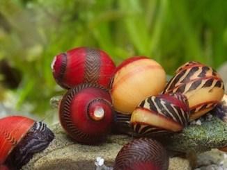 vittina waigiensis - source image floraquatic.com