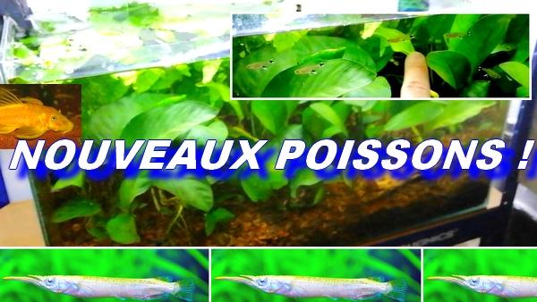 dermogenys pusilla - Ancistrus Dolichopterus - Ctenobrycon spilurus