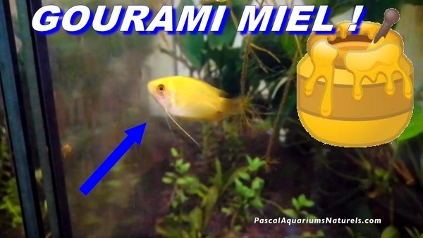 gourami miel pascal aquariums naturels