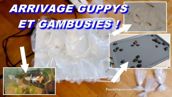guppy et gambusies
