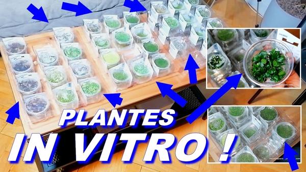 plantes in vitro en aquarium !