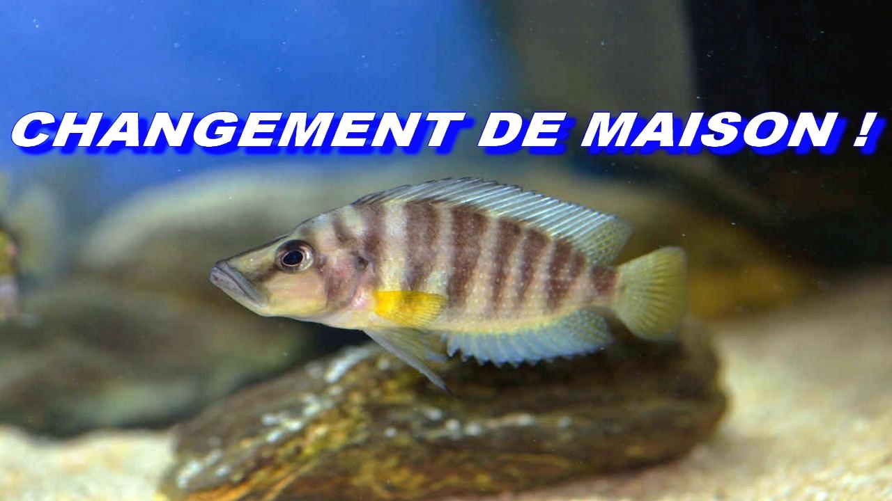 demenagement-altolamprologus-compressiceps