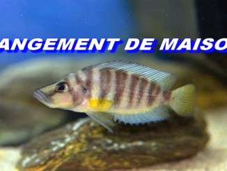 demenagement-altolamprologus-compressiceps