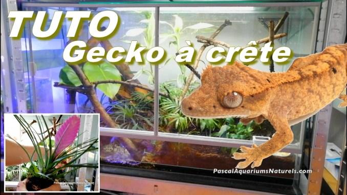 tutoriel gecko à crête