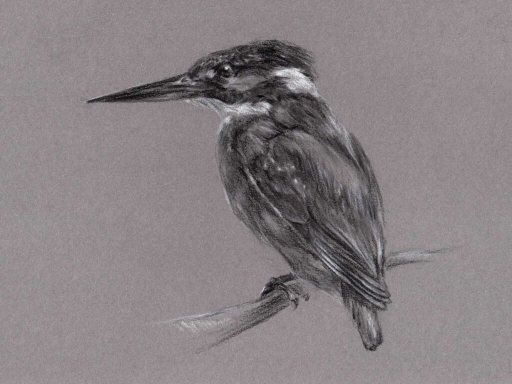 Analoge Skizze des Eisvogels mit Kohle und Kreide. Seitlich Ansicht in schwarzweiss.