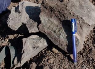 Vertèbres d'Ichtyosaures : reptiles marins (Jurassique inférieur, Belmont)