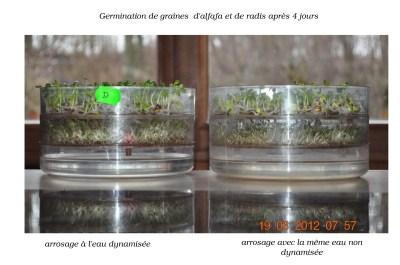 expérience germination des graines et eau dynamisée