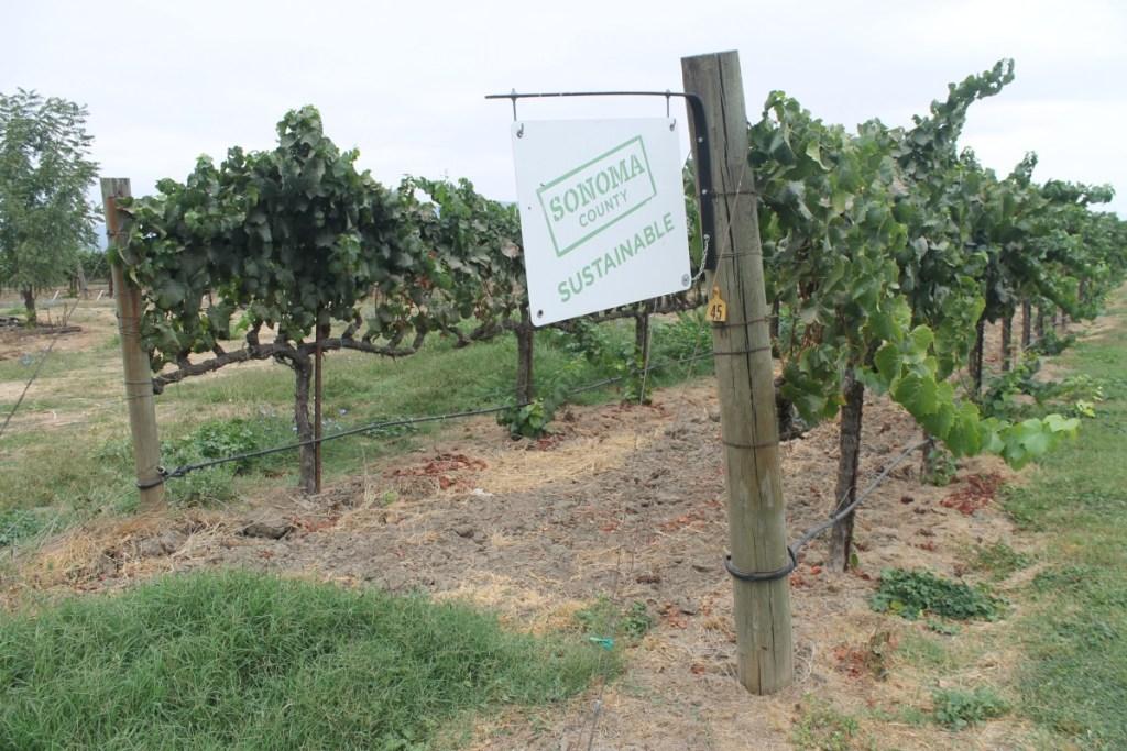 Uvas del Valle de Sonoma California