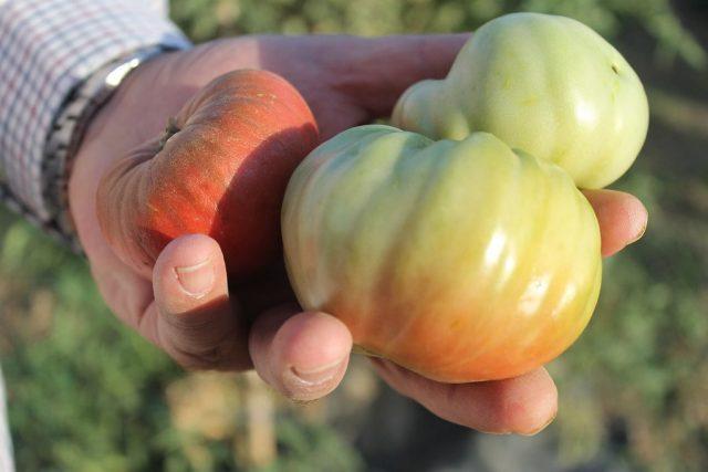 Tomates Huerta de Carabaña