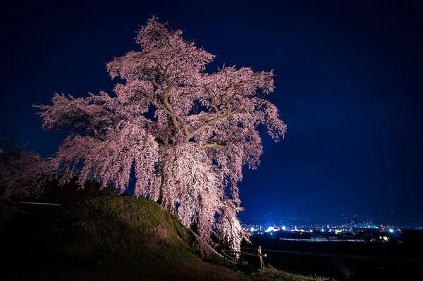 古墳の頂に咲く石塚桜