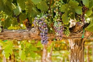 San Marcos Creek Vineyard Grape Vines